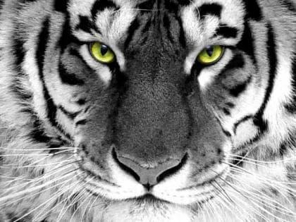 Погляд тигра DM-281 Алмазна мозаїка